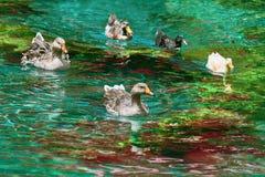 Ducks Swimming Down the River Stock Photo