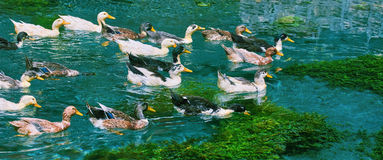 Ducks Swimming Down the River. Ducks (Anas Platyrhynchos) Swimming Down the River Stock Images