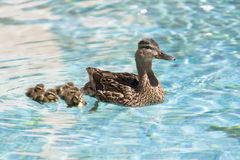 Ducks swimming. Duck and ducklings swimming in a pool Royalty Free Stock Photography