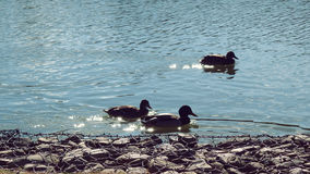 Ducks swimming. Duck in Natural Park Salburua Basque Country Spain Royalty Free Stock Photography
