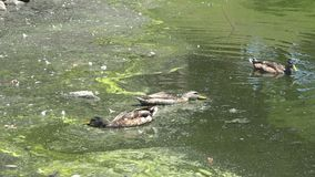 Ducks in a polluted urban pond. Ducks swimming in an extremely polluted urban lake stock footage