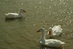 Ducks swimming in a farm pond. Stock Image