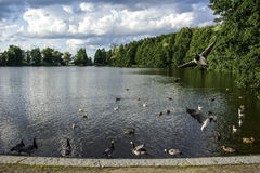 Ducks swimming in Finnish lake. In Lahti Royalty Free Stock Images