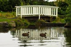 Ducks swimming in front of little white wooden bridge Stock Photo