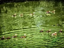 Flock of ducks in the pond. Ducks swimming in a green pond polluted with algae Royalty Free Stock Image