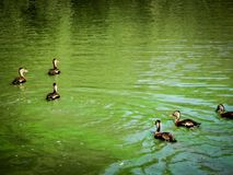 Flock of ducks in the pond. Ducks swimming in a green pond polluted with algae Royalty Free Stock Photography