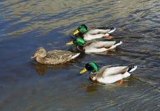 Ducks swimming. Royalty Free Stock Photo