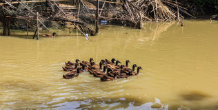 Ducks swimming. Group of ducks swimming in the pond Royalty Free Stock Photography