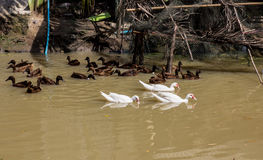 Ducks swimming. Group of ducks swimming in the pond Royalty Free Stock Image