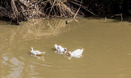 Ducks swimming. Group of ducks swimming in the pond Royalty Free Stock Photos