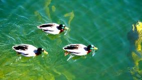 Ducks swimming in Hallstatt lake Stock Photo