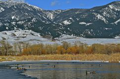 Ducks swimming in icy pond below mountain. Mallard ducks swim in an icy pond with the snow covered mountain range in the background Stock Image