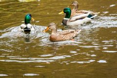Ducks swimming on the lake. Close-up Stock Photos