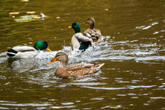 Ducks swimming on the lake. Close-up Royalty Free Stock Photo