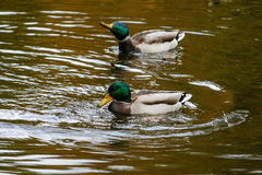 Ducks swimming on the lake. Close-up Royalty Free Stock Image