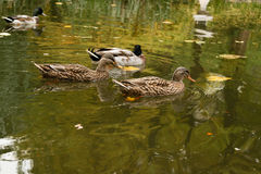 Ducks swimming on the lake. Close-up Stock Image