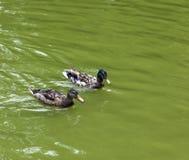 Ducks swimming in the lake Stock Photo
