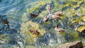 Ducks swimming at lake. Group of Ducks swimming at lake stock footage