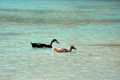 Ducks swimming on the Lake Kournas, Crete Royalty Free Stock Photography