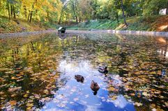 Ducks swimming in the lake Royalty Free Stock Images