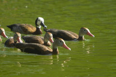 Ducks swimming Stock Image