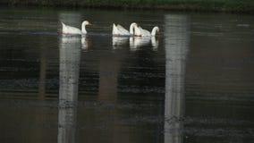 Ducks swimming on a lake stock photos