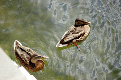 Ducks swimming in the lake. Sunny summer weather Royalty Free Stock Photography