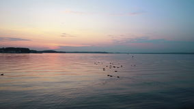 Ducks swimming on the lake at sunset stock footage
