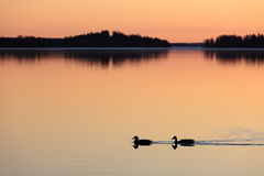 Ducks swimming in lake at sunset time Royalty Free Stock Photo