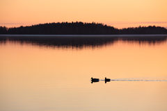 Ducks swimming in lake at sunset time Stock Images