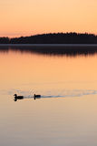 Ducks swimming in lake at sunset time Royalty Free Stock Image