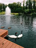 Ducks swimming in the lake. Ducks and swans swimming in the lake with a fountain near the wooden bridge Stock Image