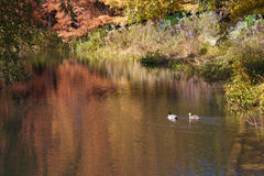 Ducks swimming in a lake. Two ducks in a lake, in Central Park, New York Royalty Free Stock Photography