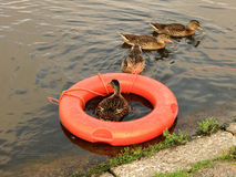 Ducks swimming lessons. A group of young ducks in a pond. One managed to get into a lifebuoy ring Stock Photo