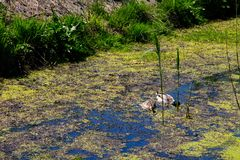 Ducks swimming among marsh plants. Ducks swimming among a marsh plants Royalty Free Stock Photo