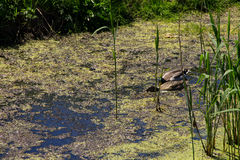 Ducks swimming among marsh plants. In swamp Stock Photos