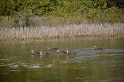Ducks swimming in a marshy body of water Royalty Free Stock Image