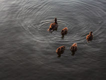 Ducks swimming in a northern lake. Closeup group of five ducks paddling in a northern lake Royalty Free Stock Photos
