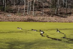 Ducks Swimming On A Pond Covered With Algae Stock Image