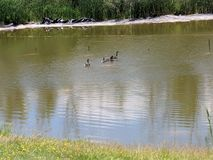 Ducks Swimming on a Peaceful Pond royalty free stock photo