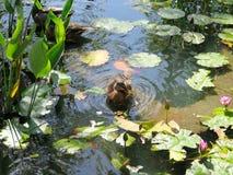 Ducks swimming Stock Photos