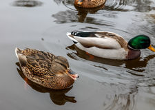 Ducks swimming in the pond Royalty Free Stock Photo