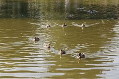 Ducks are swimming in a pond. In a city park Royalty Free Stock Images