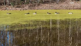 Ducks swimming on a pond covered with Algae. Ducks swimming in a pond covered with algae in the fall with leaves on the ground and bare trees Royalty Free Stock Images