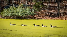 Ducks swimming on a pond covered with Algae. Ducks swimming in a pond covered with algae in the fall with leaves on the ground and bare trees Royalty Free Stock Photography