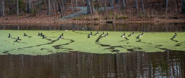 Ducks swimming on a pond covered with Algae. Ducks swimming in a pond covered with algae in the fall with leaves on the ground and bare trees Stock Image