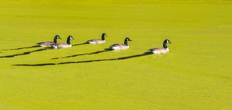 Ducks swimming on a pond covered with Algae. Ducks swimming in a pond covered with algae in the fall with leaves on the ground and bare trees Stock Photo