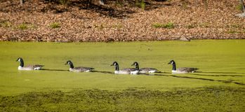 Ducks swimming on a pond covered with Algae. Ducks swimming in a pond covered with algae in the fall with leaves on the ground and bare trees Royalty Free Stock Photos