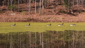 Ducks swimming on a pond covered with Algae. Ducks swimming in a pond covered with algae in the fall with leaves on the ground and bare trees Stock Photography