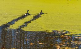 Ducks swimming on a pond covered with Algae. Ducks swimming in a pond covered with algae in the fall with leaves on the ground and bare trees Royalty Free Stock Photo
